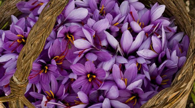 récolte du safran - panier de fleurs